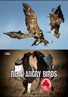Real Angry Birds | Gerçek Kızgın Kuşlar | HD Belgesel |
